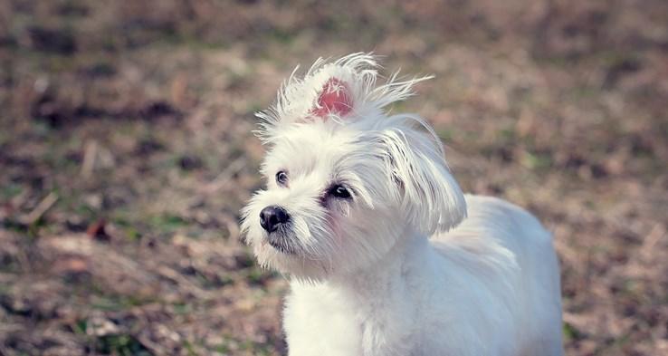 Minnie the Maltese