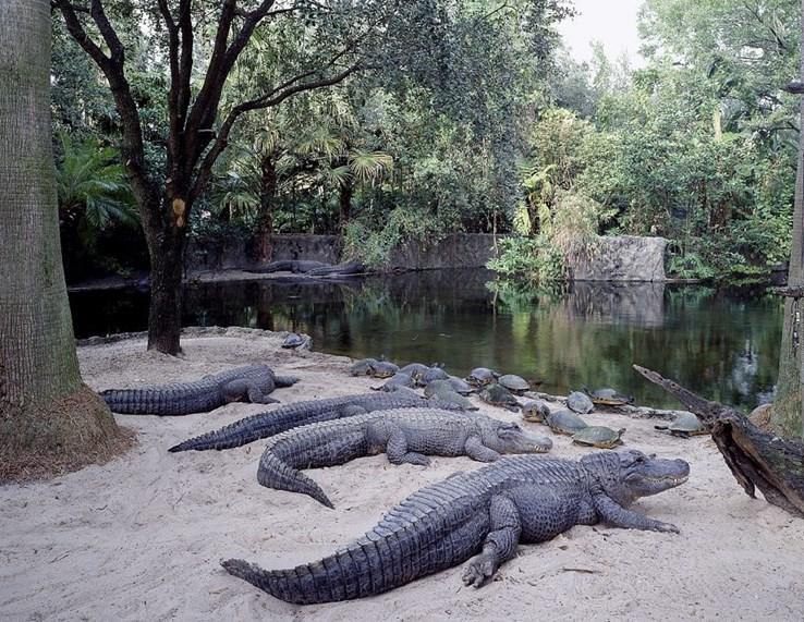 Alligators at Busch Gardens | Florida