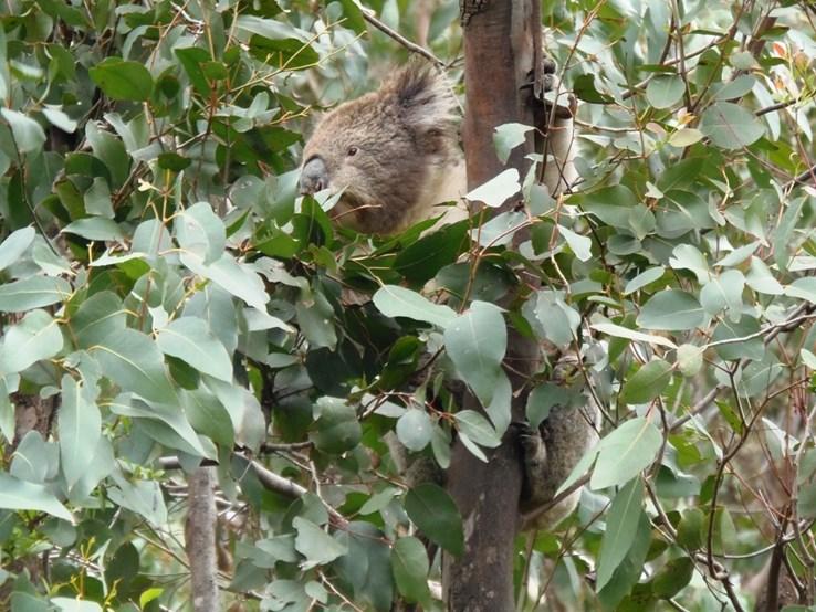 A Koala!
