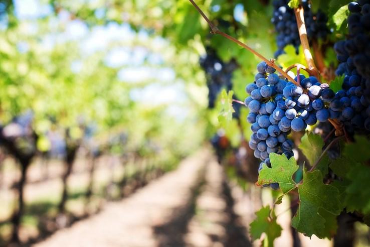 Vineyard-Bordeaux-France