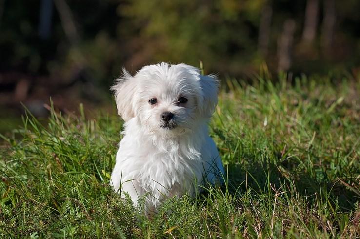 Puppy Minnie the Maltese