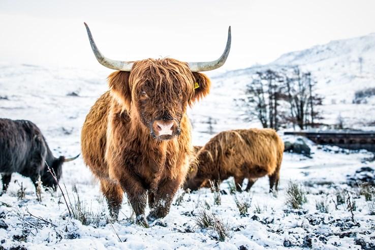 Highland Cows near Loch Lomond
