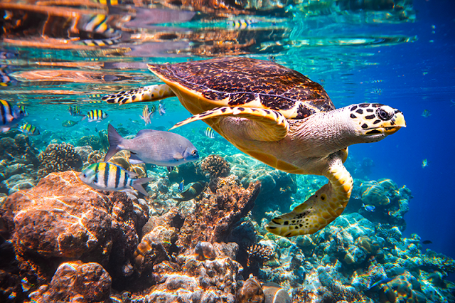 Hawksbill Turtle, Habour Island, The Bahamas